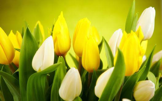 Обои Весенние желтые и белые тюльпаны