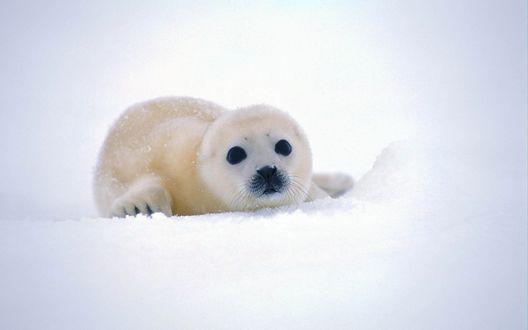 Обои Детеныш тюленя лежит на  снегу