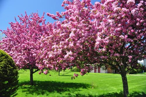 Обои цветущее дерево с розовыми