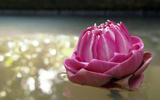 Обои Свернутые лепестки розового лотоса