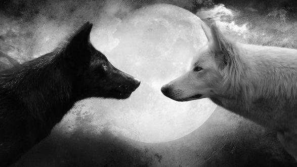Обои Черный и белый волки смотрят друг другу в глаза