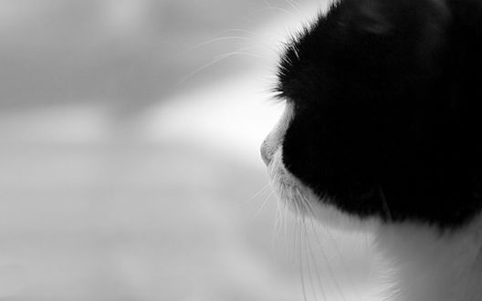 Обои Черно-белый кот смотрит вдаль