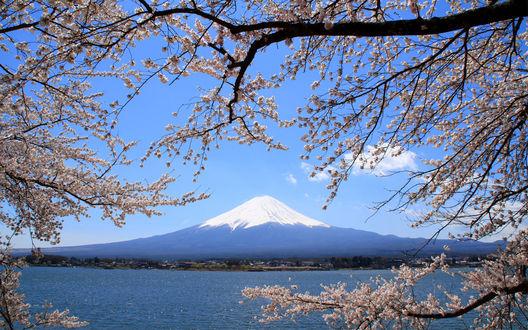 Обои Вид на гору Фудзи / Fuji сквозь цветущие ветки белой сакуры, Япония / Japan