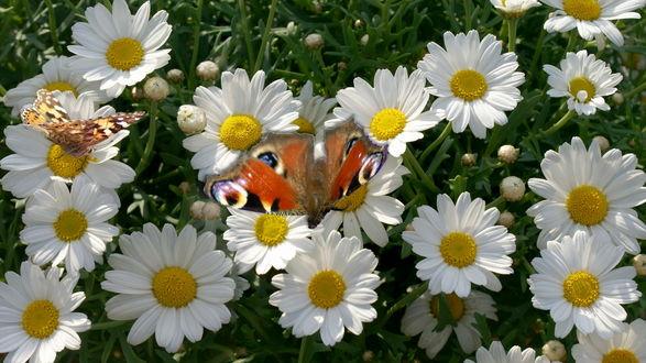 Обои Две красивый бабочки сидят на цветах ромашки