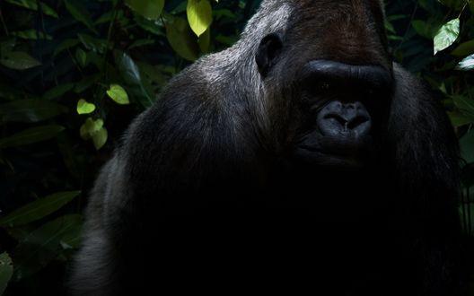 Обои Самец горилла на фоне листвы