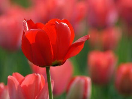 Обои Ярко красный тюльпан среди других цветов на поляне