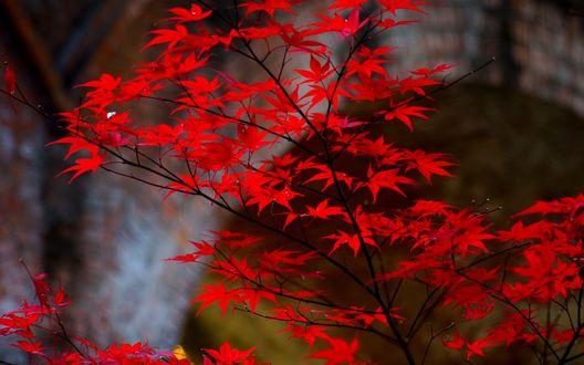 Обои Небольшое кленовое дерево с маленькими красными листьями