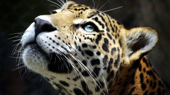 Обои Смотрящий вверх леопард