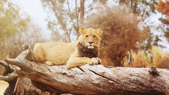 Обои Молодей лев лежит на повалившемся дереве