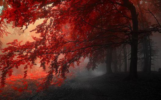 Обои Дорога в туманном лесу под склонившимися ветвями деревьев с красными листьями
