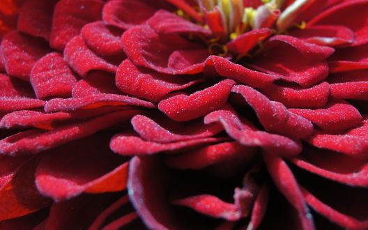 Обои Красные лепестки цветка в каплях воды