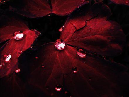 Обои Капли воды на темно-красных листьях