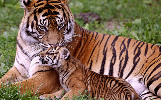 Обои Тигренок лежит с тигром