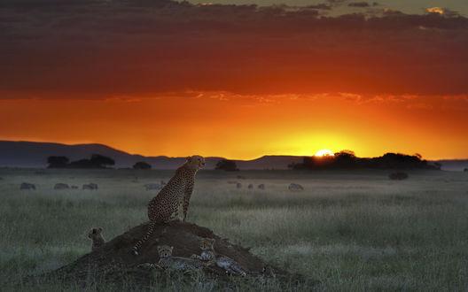 Обои Гепард с детенышами на закате (Танзания / Tanzania, Африка / Afrika)
