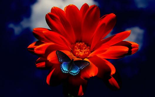 Обои Голубая бабочка на красном цветке