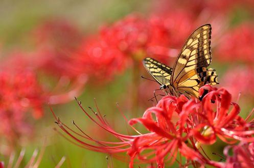 Обои Желтая бабочка на красных цветах