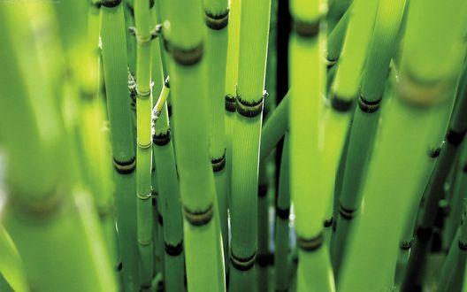 Обои Зеленые стебли бамбука