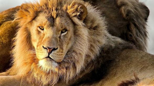 Обои Два льва лежат рядом