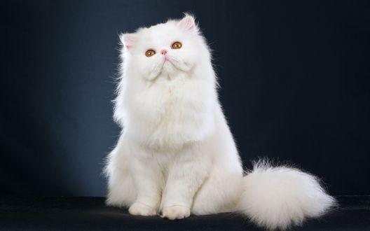 Обои Белая персидская кошка на черном фоне