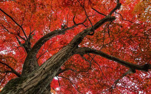 Обои Бордовые листья дерева