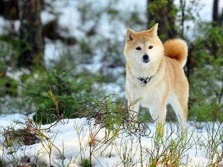 Обои Собака породы Акита-ину / Akita Inu с ошейником, стоит в зимнем лесу