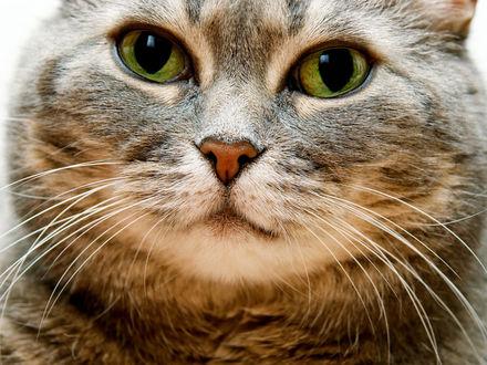 Обои Мордочка кошки с большими зелеными глазами