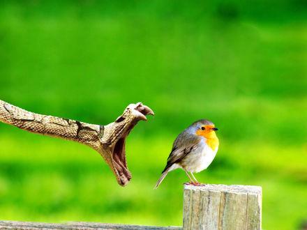 Обои Змея с открытой пастью охотится на птичку