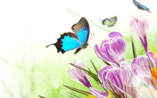 Обои Синие бабочки летают вокруг фиолетовых крокусов