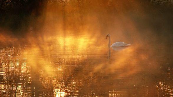 Обои Лебедь на озере на закате солнца