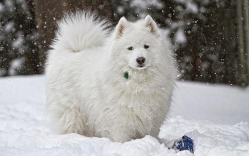 Собака породы самоедская собака