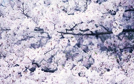 Обои Цветение сакуры