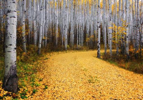 Обои Дорога в березовой роще усыпана желтой листвой
