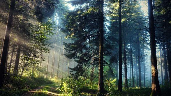 Обои Солнечные лучи сквозь деревья в сосновом лесу через заросшую дорогу