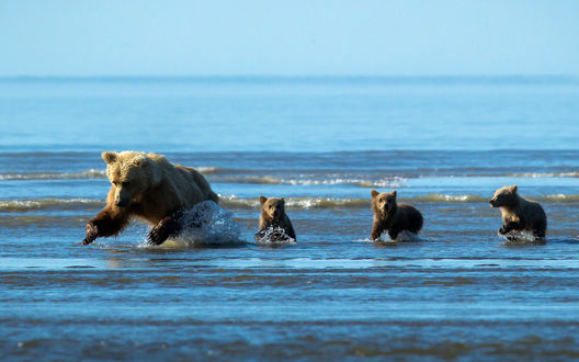 Обои Медведица с медвежатами бегут по воде