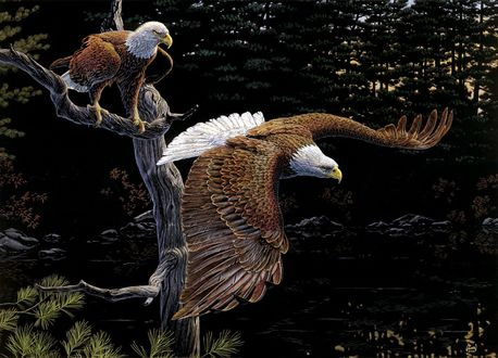 Обои Два белоголовых орлана на фоне леса