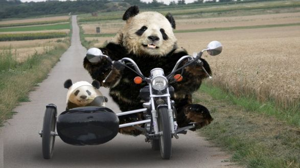 Обои Панда на мотоцикле едет по дороге