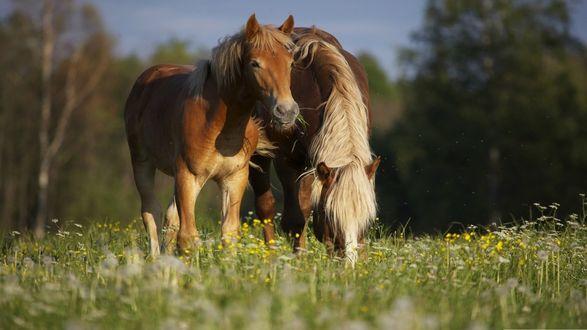 Обои Лошади едят траву