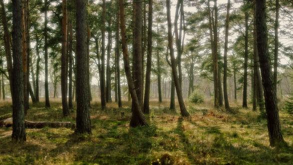 Обои Сосновый лес с желтой трваой