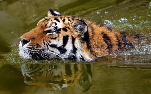 Обои Тигр плывущий в воде