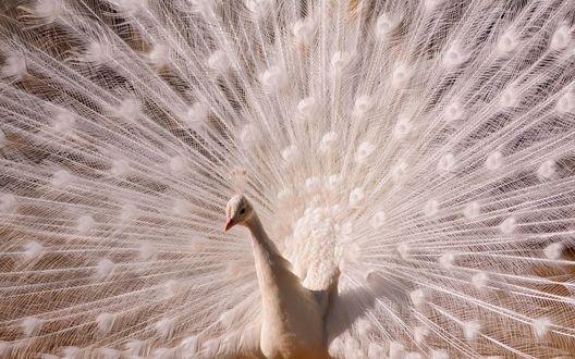 Обои Белый павлин с распущенным хвостом