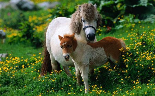 Обои Лошадь и жеребенок породы пони стоят на поляне с цветами