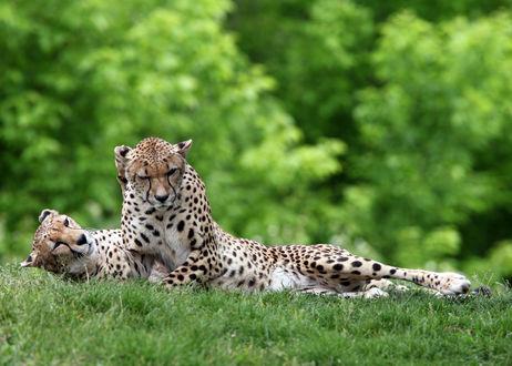 Обои Два леопарда лежат на траве на фоне деревьев