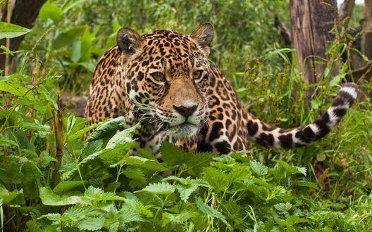 Обои Крадущийся леопард по густым зарослям леса