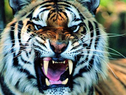 Обои Грозный оскал тигра