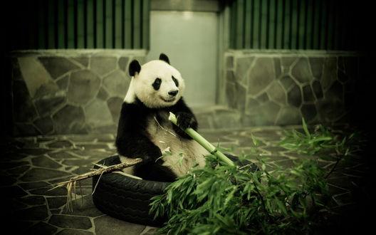 Обои Панда грызет бамбук, сидя в покрышке от колеса
