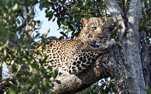 Обои Леопард лежит на ветке