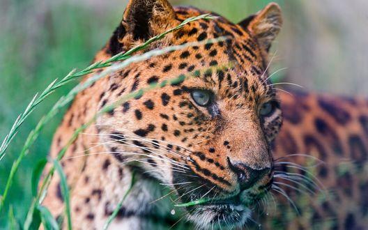 Обои Смотрящий в сторону леопард с травой в пасти