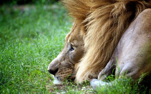 Обои Грустный взгляд у лежащего на траве льва