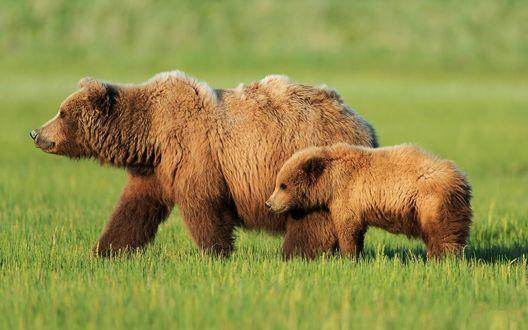 Обои Медведица с медвежонком идут по траве