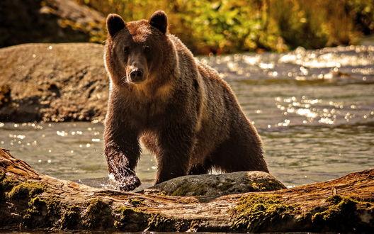 Обои Бурый медведь выходит из реки